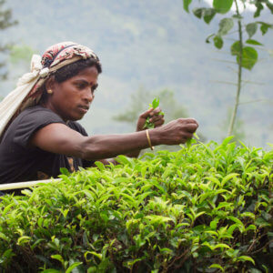 tea farmer plucking tea leaves e