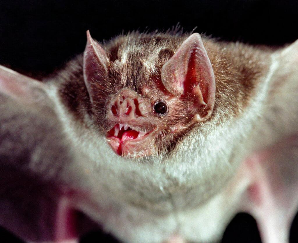 vampire-bat 2 27 18