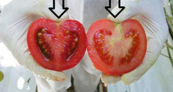gmo tomato 84320