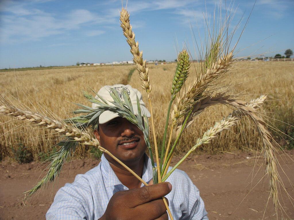 wheat crop wild relatives 43727