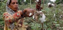 GMO cotton india Monsanto 43727