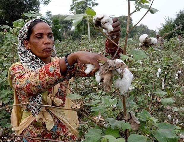 GMO cotton india Monsanto 43727