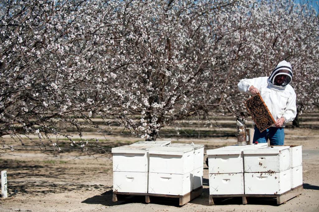 almond honeybee pollination 432732