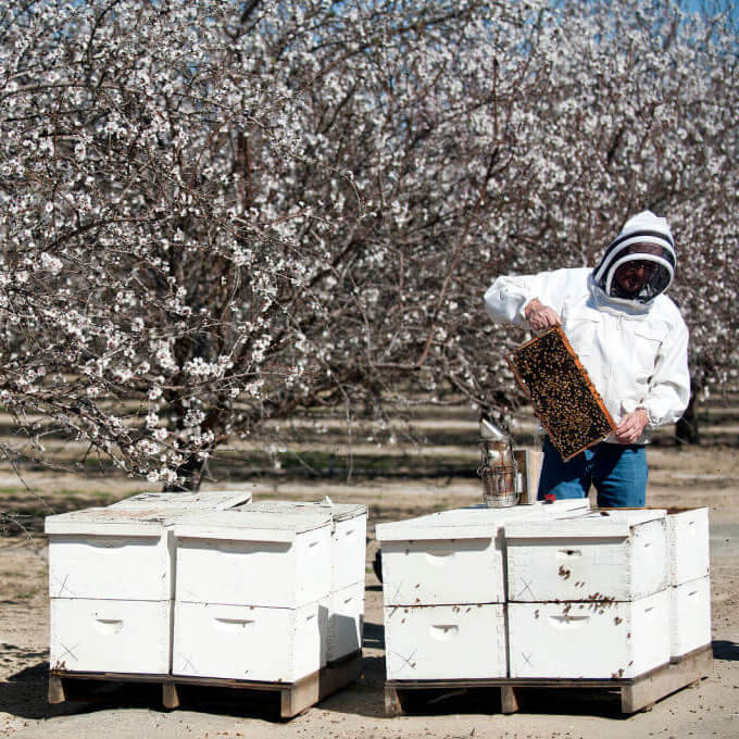 almond honeybee pollination 432732