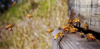 Australia neonicotinoids bees 437237
