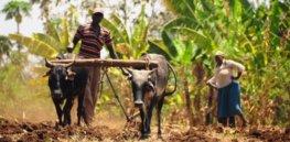 Africa agriculture GMO 3288