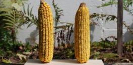 GMO non-GMO 34723