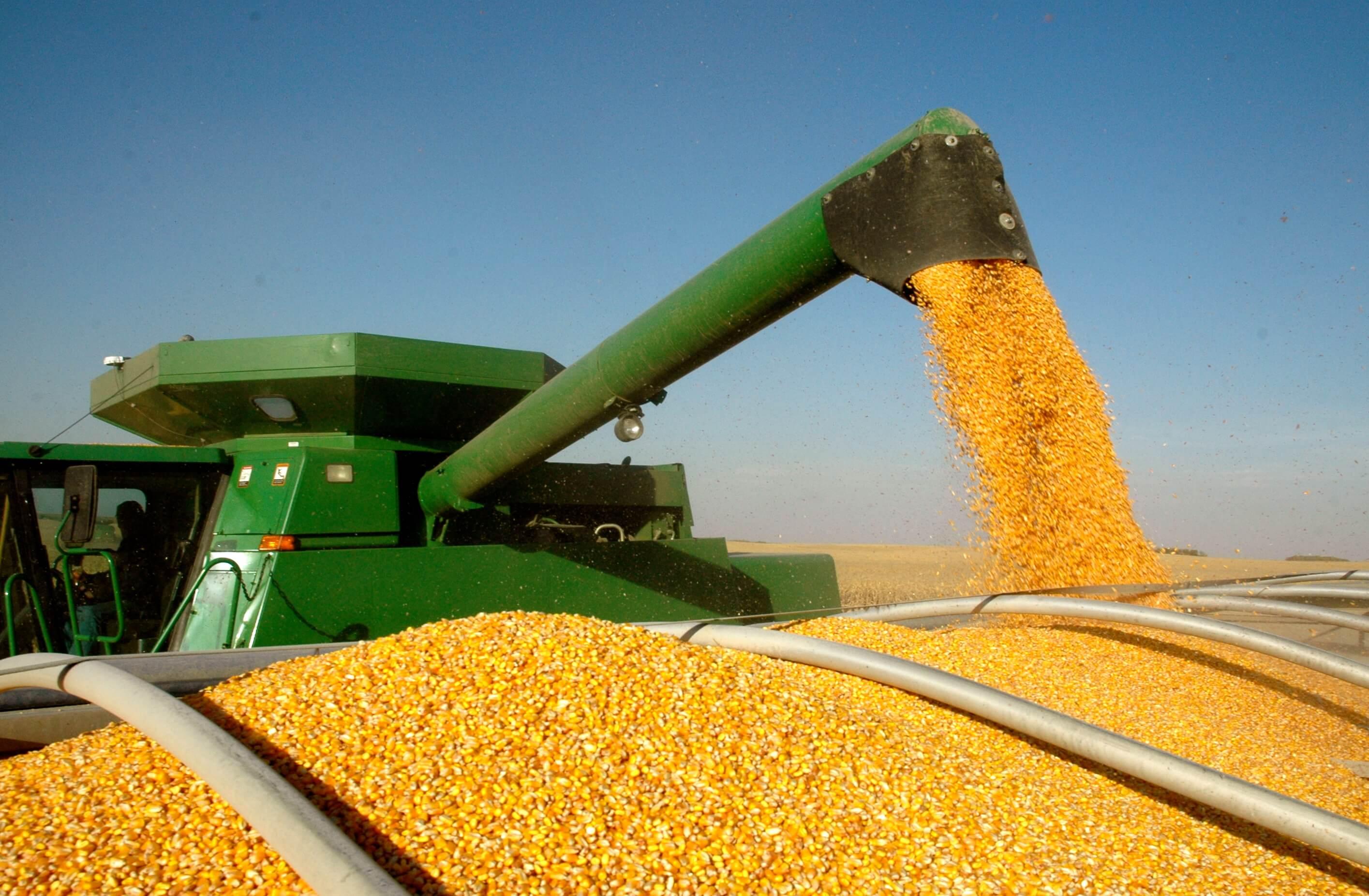 GMO corn 43727