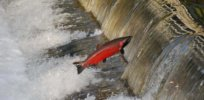 Hatchery-raised vs wild-born coho salmon: Containment sites may alter epigenome, hurting survival in the wild