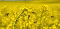Field of oilseed rape with bees e