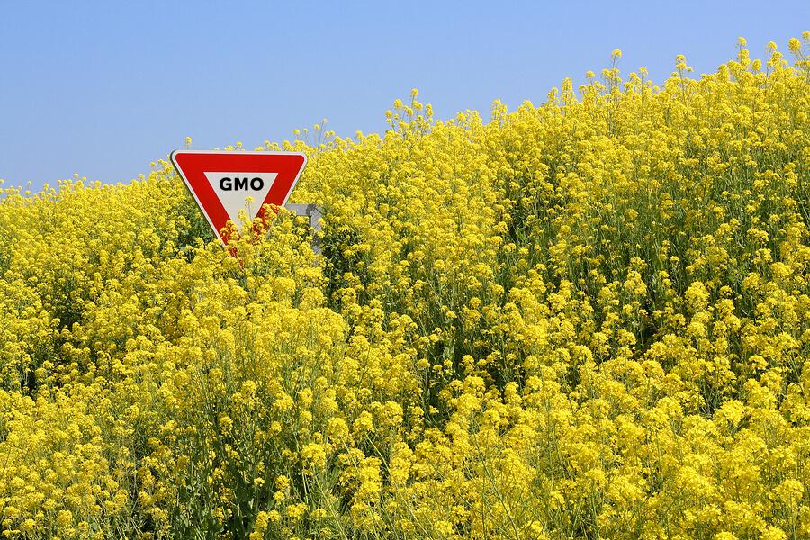 GMOcanola