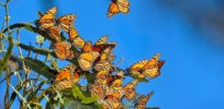 monarch butterflies herbicide 82377