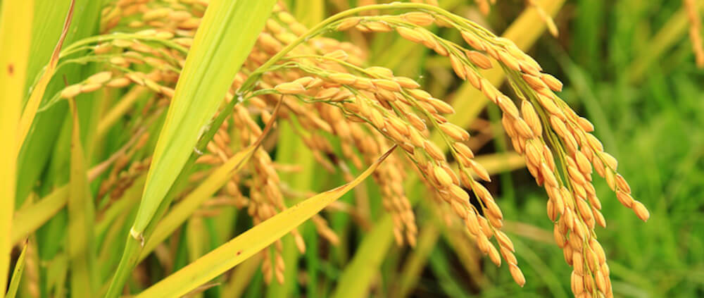 Golden Rice in the field px