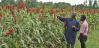Genetic mutation can triple sorghum grain yields—and could boost rice, corn and wheat too