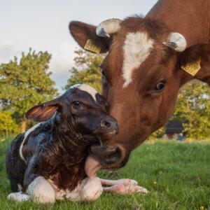 New born Frisian red white calf