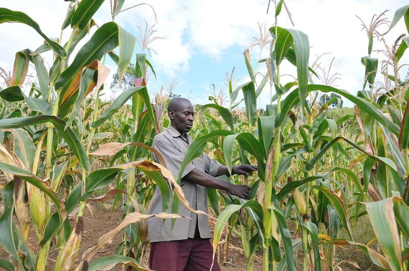 Uganda GMO 43727