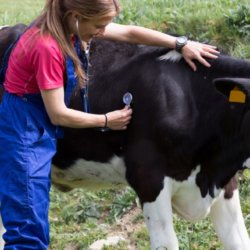 Vet and cows x