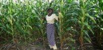 Nigeria GMO farming 73627