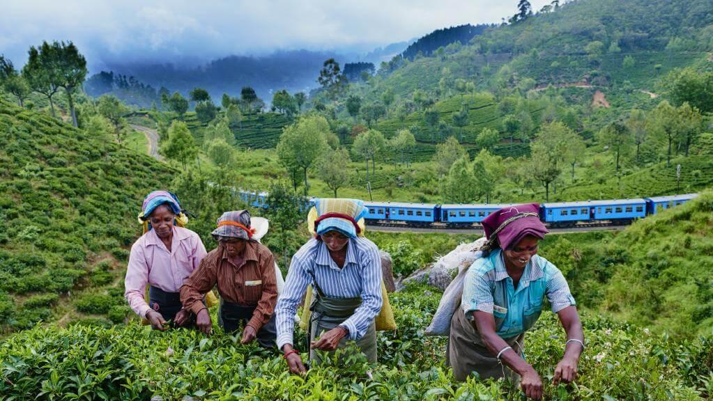 Sri Lanka tea glyphosate 43727
