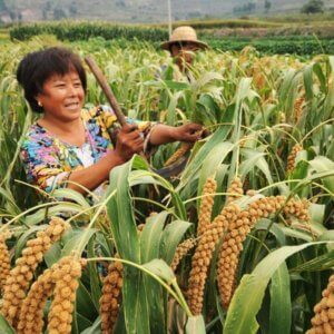china rice farmer 3277