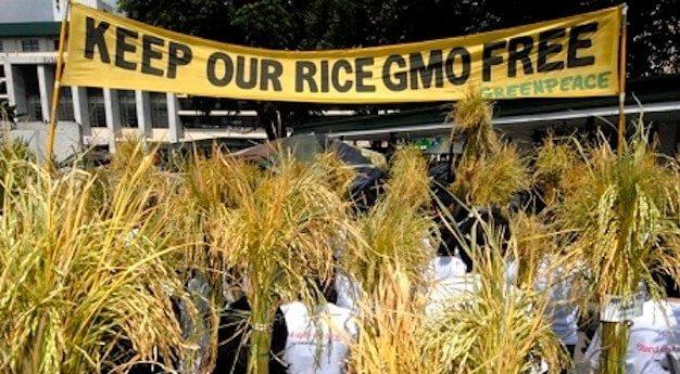 Golden rice Philippines 43827