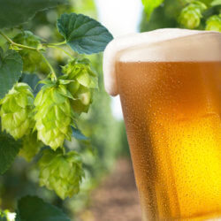 hops cones for beer production