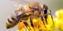 honey bee neonicotinoid 34277