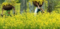 Viewpoint: Indian opponents of GMO mustard promote false hopes about unsustainable organic farming