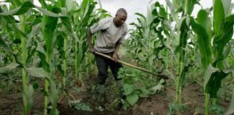 Viewpoint: Anti-GMO groups offer no solutions to Africa's food security problems