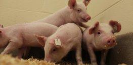 pigsbiotechanimals