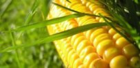 40 years of data show Bt corn significantly reduces pests, spraying and crop damage, including in nearby non-GMO fields