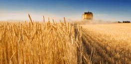 wheat crispr 74327