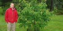 american chestnut tree gmo 32828