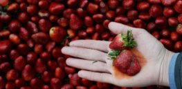 Viewpoint: Pesticide soaked strawberries? Why you shouldn't pay attention to Environmental Working Group's 'fear-mongering'