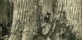 The American Chestnut Tree