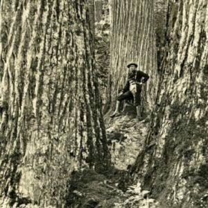 The American Chestnut Tree