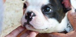 puppy header x