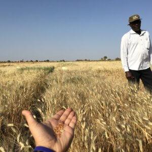 Icarda wheat africa 87788