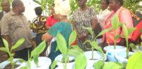 GM Banana greenhouse