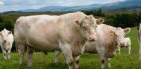 Whitebred shorthorn cows 37237