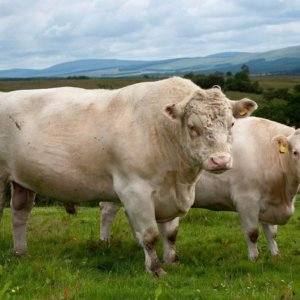 Whitebred shorthorn cows 37237