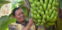 GMO banana 382237