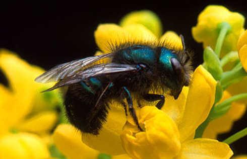 HuffPo - Wild Bees