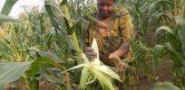 uganda gmo crop 3723