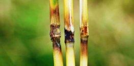 Rice blast symptoms