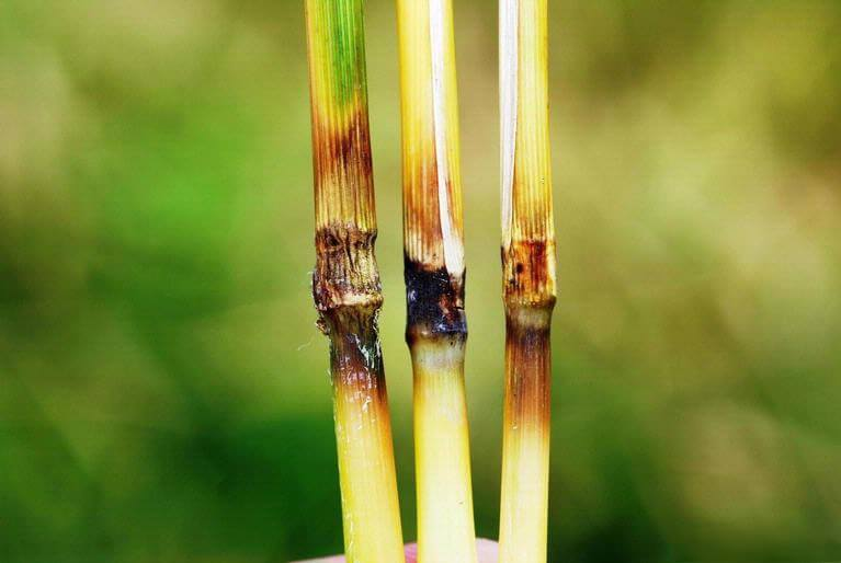 rice blast fungus genetic 28238
