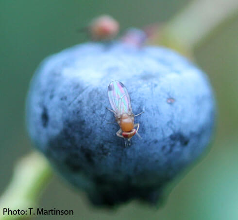 First gene drive developed for crop pest targets invasive fruit fly that damages berries