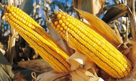 GMO corn 37759857