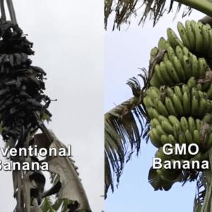 GMO banana Uganda bacterial wilt 3283277