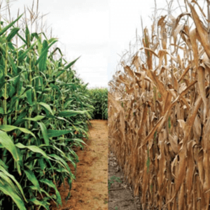 climate change food crops 327372